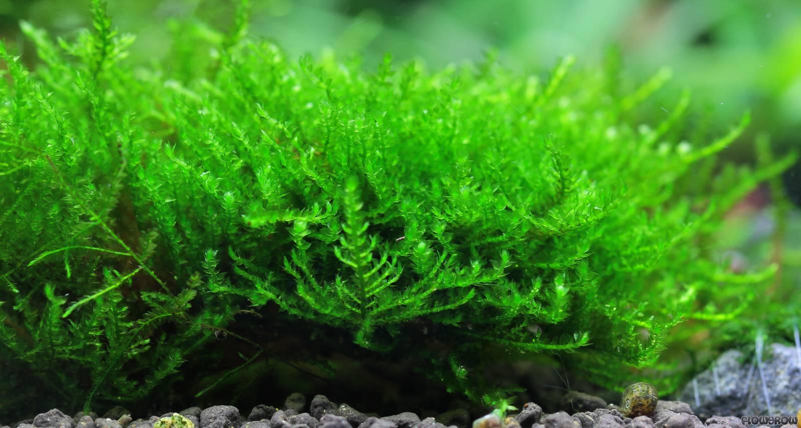Vesicularia Sp Quot Triangelmoos Quot Quot Triangle Moss Quot Flowgrow Aquatic Plant Database