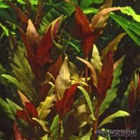 "Alternanthera reineckii ""Rosaefolia"" - Flowgrow Aquatic Plant Database"