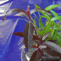 Alternanthera sessilis - Sessile joyweed - Flowgrow Aquatic Plant Database