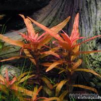 Ammannia crassicaulis - Flowgrow Aquatic Plant Database