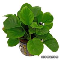 Anubias barteri 'Round Leaf' - Round leaf Anubias - Flowgrow Aquatic Plant Database