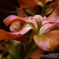 Ludwigia repens - Creeping primrose-willow - Flowgrow Aquatic Plant Database
