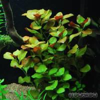 "Ludwigia repens ""Mesakana"" - Flowgrow Aquatic Plant Database"