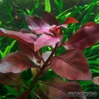 "Ludwigia ""Rubin"" - Ruby Ludwigia - Flowgrow Aquatic Plant Database"