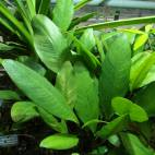 Anubias afzelii - Flowgrow Aquatic Plant Database