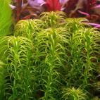 Lagarosiphon major - Curly waterweed - Flowgrow Aquatic Plant Database