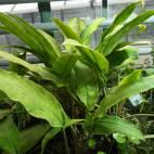Lagenandra ovata - Malayan sword - Flowgrow Aquatic Plant Database