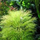 Limnophila aquatica - Giant Ambulia - Flowgrow Aquatic Plant Database
