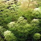 Limnophila sessiliflora - Flowgrow Aquatic Plant Database