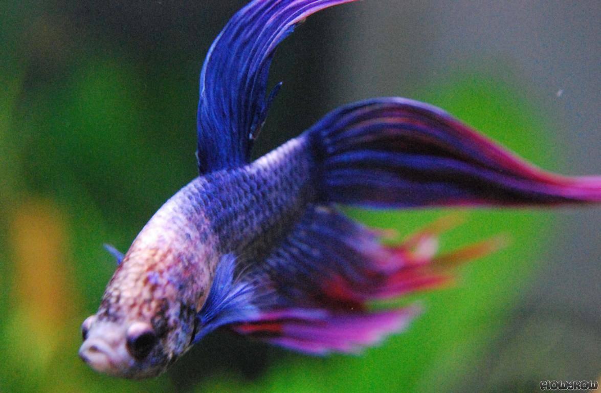 Betta splendens siamesischer kampffisch flowgrow fisch for Kampffisch aquarium
