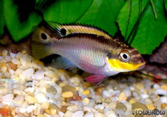 pelvicachromis taeniatus smaragd prachtbarsch flowgrow fisch datenbank. Black Bedroom Furniture Sets. Home Design Ideas