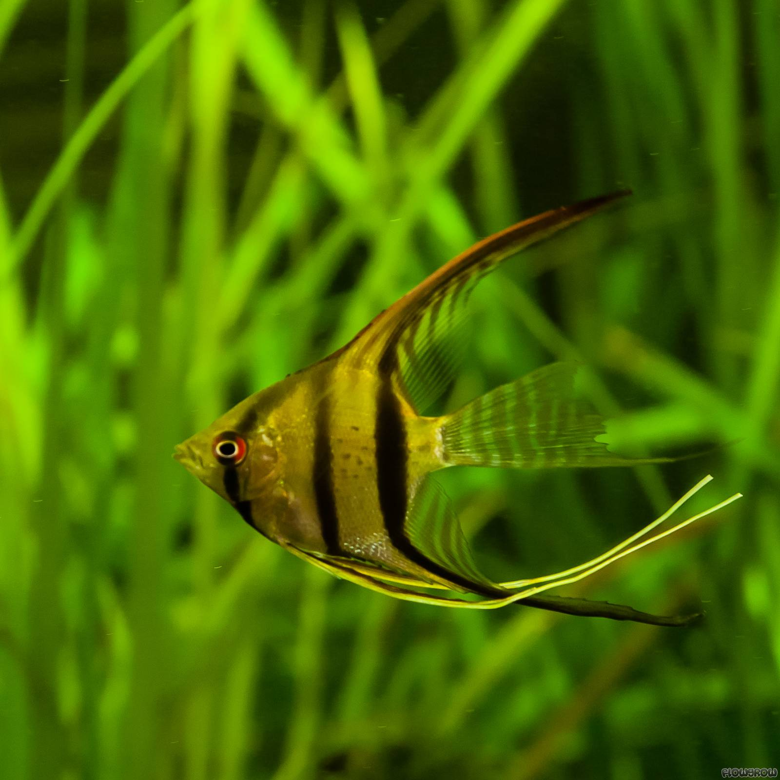 Pterophyllum scalare skalar flowgrow fisch datenbank for Peru altum skalar