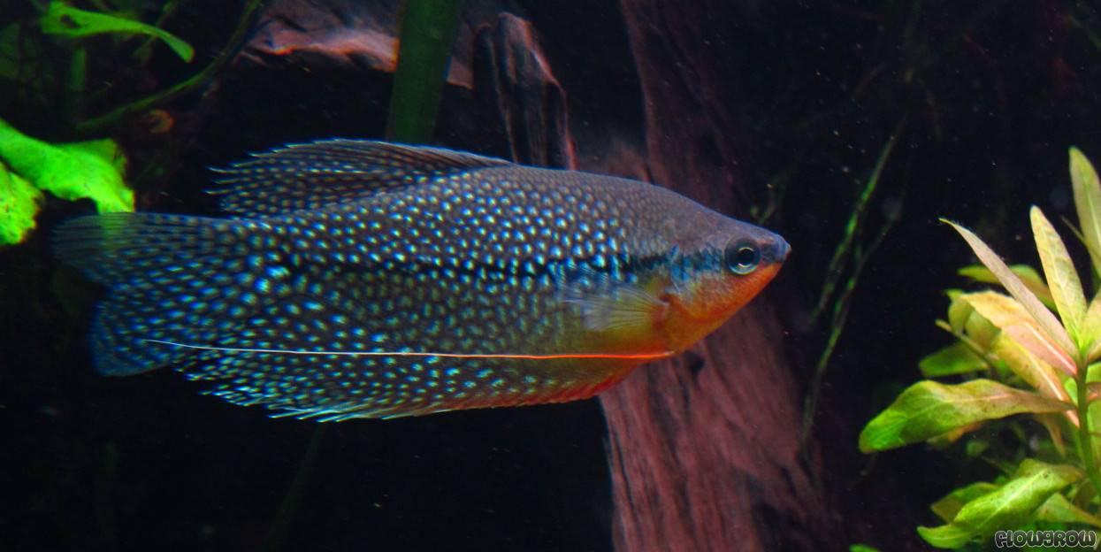 Trichogaster leerii mosaikfadenfisch flowgrow fisch for Fadenfische zucht