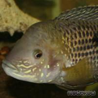 Aequidens rivulatus - Goldsaum-Buntbarsch - Flowgrow Fisch-Datenbank