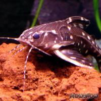 Agamyxis pectinifrons - Sterndornwels - Flowgrow Fisch-Datenbank