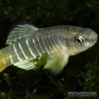 Aphanius fasciatus - Gestreifter Zahnkärpfling - Flowgrow Fisch-Datenbank