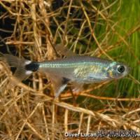 Aphyocharax paraguayensis - Augenflecksalmler - Flowgrow Fisch-Datenbank
