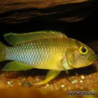 Apistogramma nijsseni - Panda-Zwergbuntbarsch - Flowgrow Fisch-Datenbank