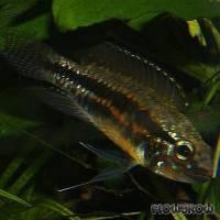 Apistogramma paucisquamis - Flowgrow Fisch-Datenbank