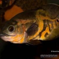 Astronotus ocellatus - Pfauenaugenbuntbarsch - Flowgrow Fisch-Datenbank