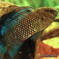 Badis badis - Flowgrow Fisch-Datenbank