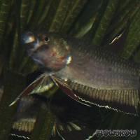 Betta rubra - Friedlicher Kämpfer - Flowgrow Fisch-Datenbank