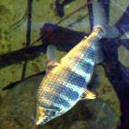 Abramites hypselonotus - Brachsensalmler - Flowgrow Fisch-Datenbank