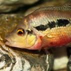 Amphilophus longimanus - Flowgrow Fisch-Datenbank