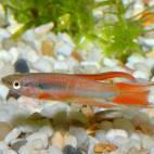 Aphyosemion bivittatum - Gebänderter Prachtkärpfling - Flowgrow Fisch-Datenbank