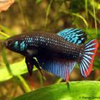 Betta imbellis - Kleiner Kampffisch - Flowgrow Fisch-Datenbank