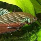 Betta smaragdina - Smaragd-Kampffisch - Flowgrow Fisch-Datenbank