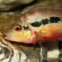 Amphilophus longimanus - Flowgrow Fish Database