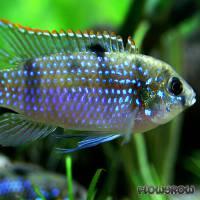 Anomalochromis thomasi - Afrikanischer Schmetterlingsbuntbarsch - Flowgrow Fish Database