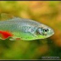 Aphyocharax anisitsi - Rotflossensalmler - Flowgrow Fish Database