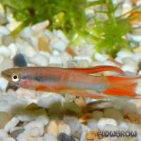 Aphyosemion bivittatum - Gebänderter Prachtkärpfling - Flowgrow Fish Database