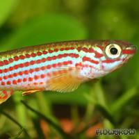 Aphyosemion striatum - Gestreifter Prachtkärpfling - Flowgrow Fish Database