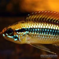 Apistogramma agassizii - Agassiz Zwergbuntbarsch - Flowgrow Fish Database