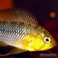 Apistogramma borelli - Borellis Zwergbuntbarsch - Flowgrow Fish Database