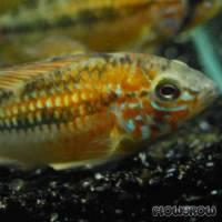 Apistogramma viejita - Schwarzkehl-Zwergbuntbarsch - Flowgrow Fish Database
