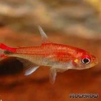 Axelrodia riesei - Roter Pfeffersalmler - Flowgrow Fish Database