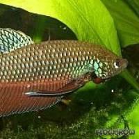 Betta smaragdina - Smaragd-Kampffisch - Flowgrow Fish Database