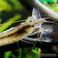 Atyopsis moluccensis - Flowgrow Shrimp Database