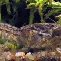 Cambarellus montezumae - Flowgrow Shrimp Database