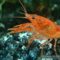 """Cambarellus patzcuarensis """"Orange"""" - CPO - Flowgrow Shrimp Database"""