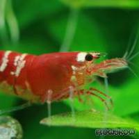 """Caridina cf. cantonensis """"Crystal Red"""" - Flowgrow Shrimp Database"""