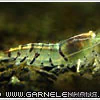"Caridina cf. cantonensis ""Tiger Orange Eye"" - Flowgrow Shrimp Database"