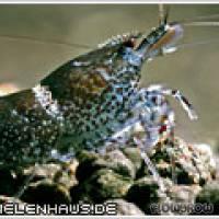 "Caridina sp. ""Blue Bee"" - Flowgrow Shrimp Database"