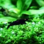 "Caridina cf. cantonensis ""Black Tiger"" - Flowgrow Shrimp Database"