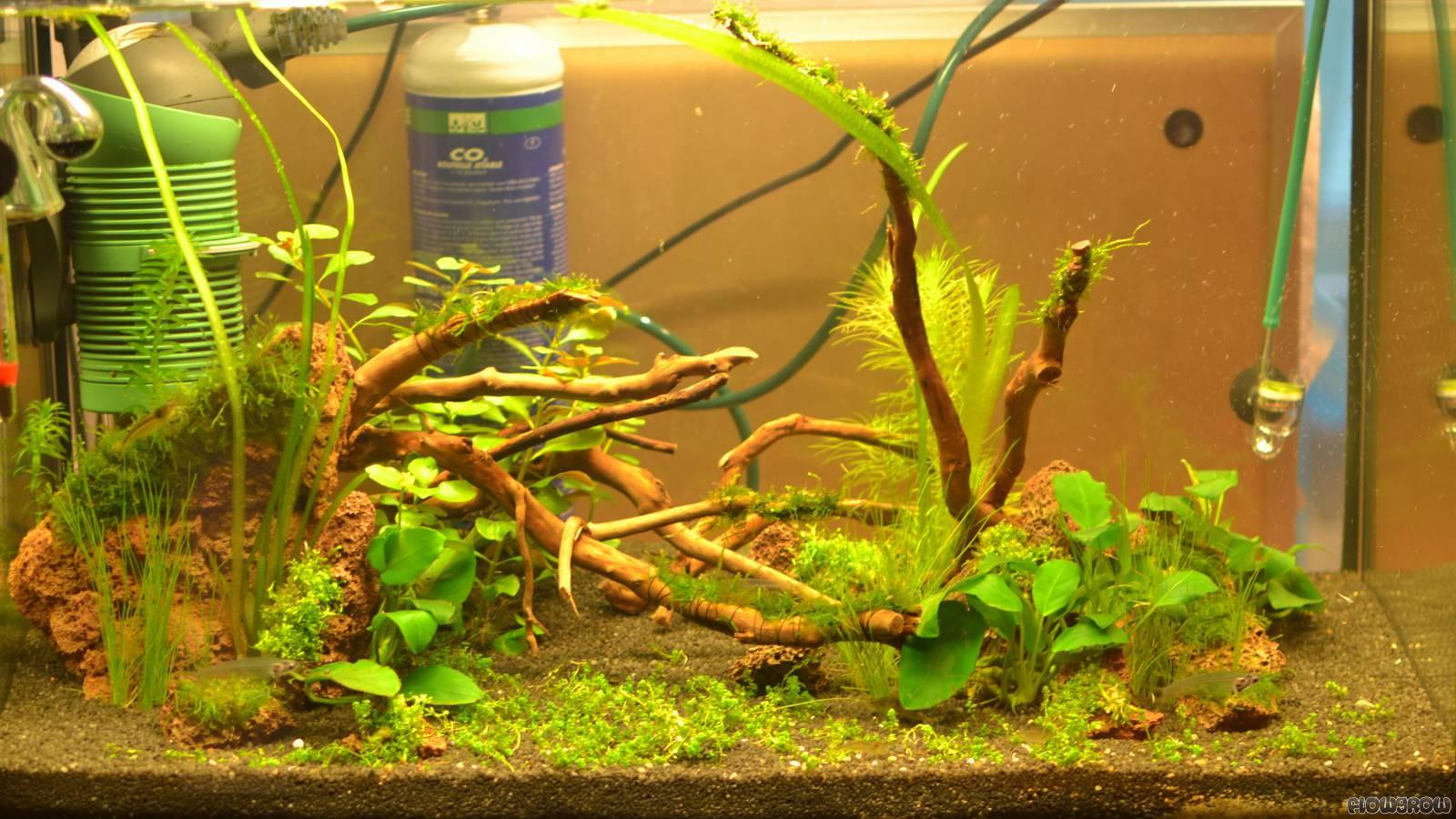ying yang flowgrow aquascape aquarium database. Black Bedroom Furniture Sets. Home Design Ideas