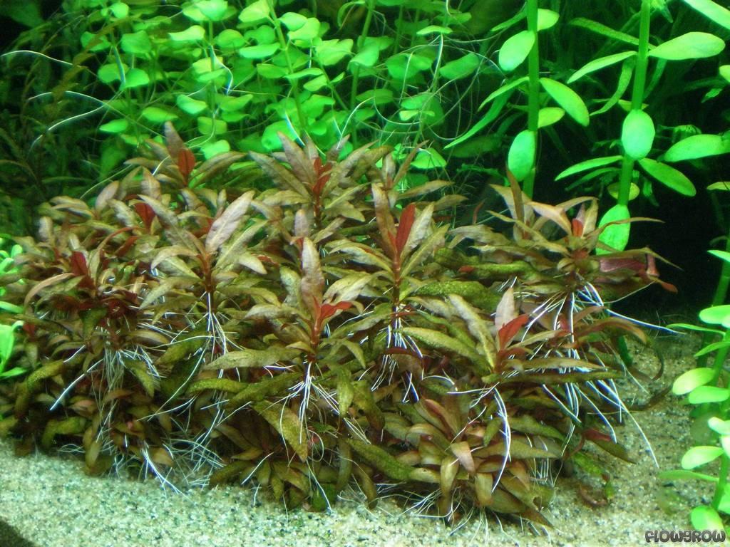 alternanthera reineckii 39 mini 39 mini papageienblatt flowgrow wasserpflanzen datenbank. Black Bedroom Furniture Sets. Home Design Ideas